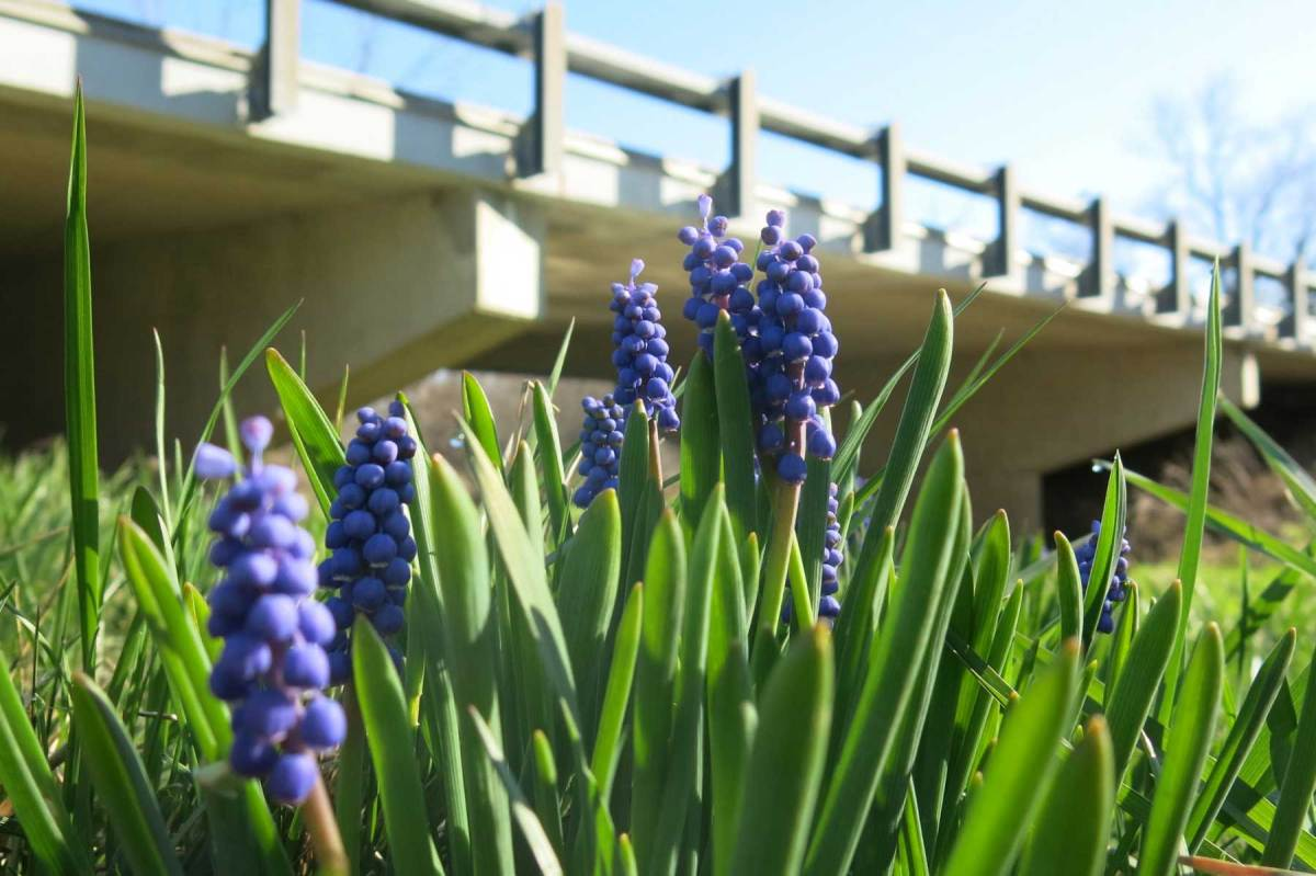 Some spring flowers in bloom in Ohio, with a bridge deck out of focus in the background.
