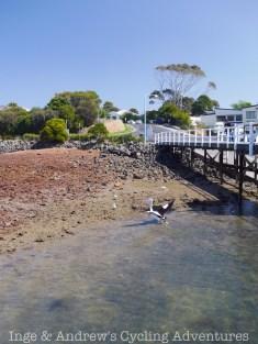 Pelicans on Phillip Island.