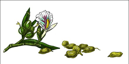 Cardamam-Seeds-Flower