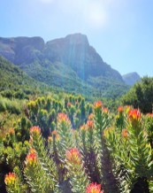 Fynbos and Table Mountain at Kirstenbosch