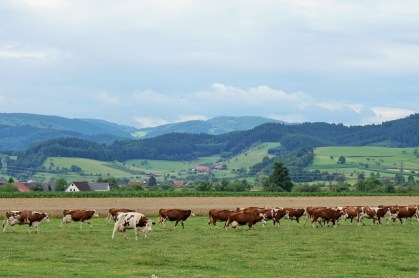 Cow crossing in the Kinzig Valley, Black Forest