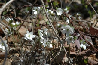 Hepatica at the LNR, S.Fleming