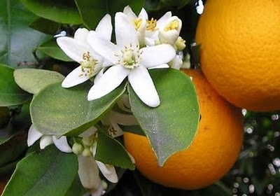Orange Blossoms wikimedia