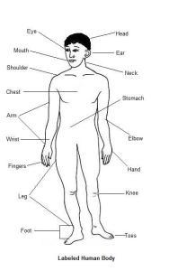 human body - corpo humano