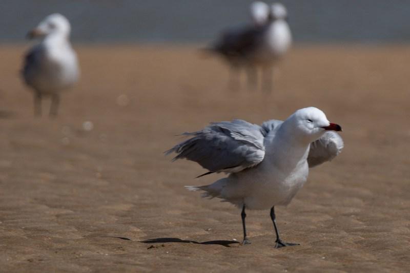audouin´s gull