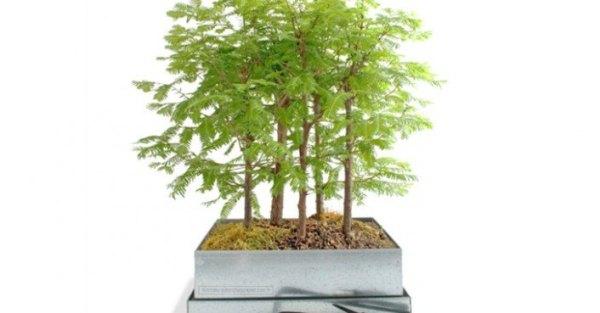 redwood forest landscape tree