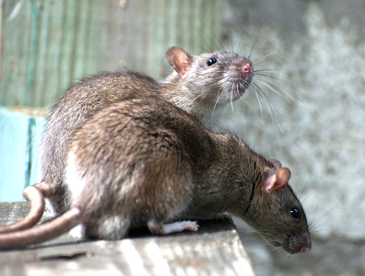 San Francisco Woman Found Living With 300 Rats that She ...