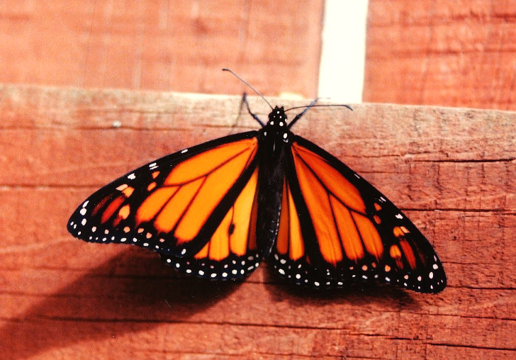 Urgent Call To List Monarch Butterfly As Endangered After