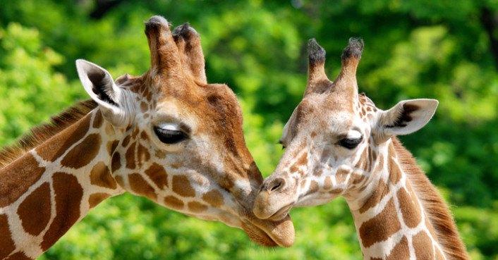 Kids Animal Wallpaper Giraffes Are In Danger Of Extinction Help Save Them