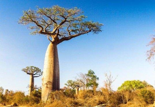 Baobab tree  Inhabitat  Green Design Innovation