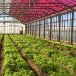These Magenta Greenhouses Grow Plants Faster While Generating Clean Energy