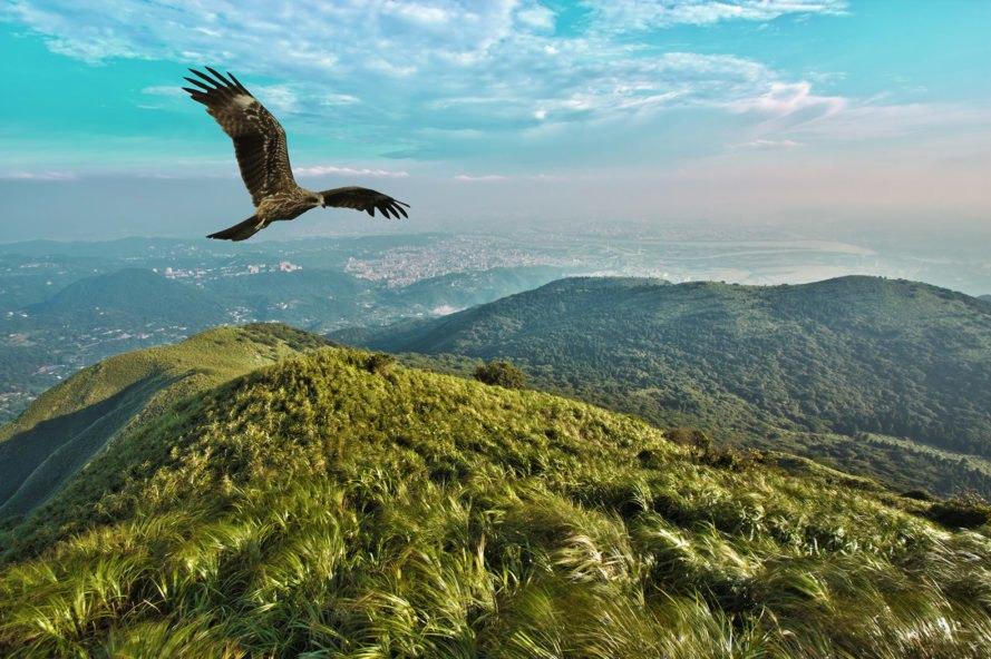 Black kite, Milvus migrans, bird, birds, birds of prey, flight, flying