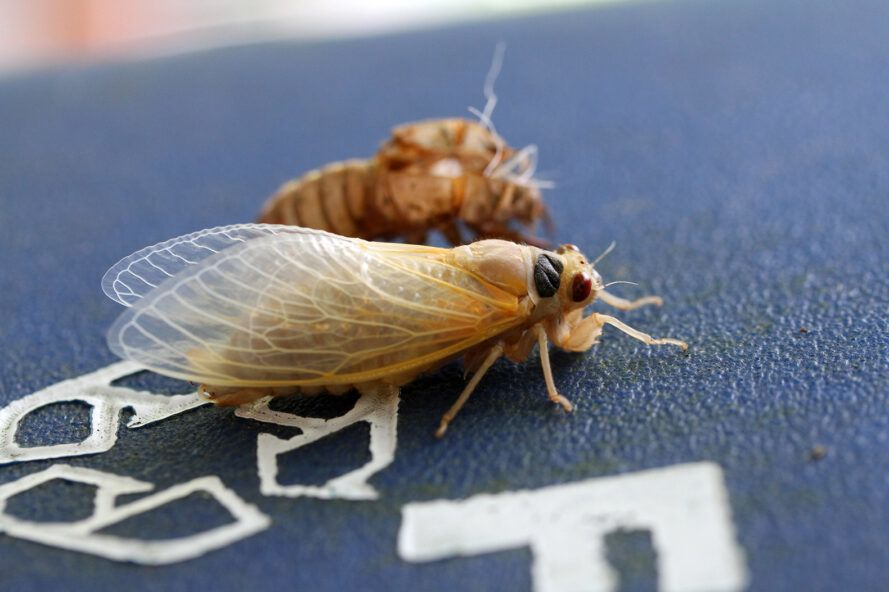 young cicada next to its husk