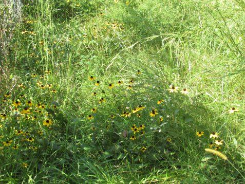 Photo of Black-eyed Susans growing wild