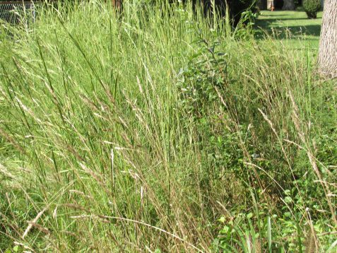 Photo of natural grasses allowed to grow in garden