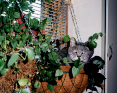Photo of grey tabby in hanging basket