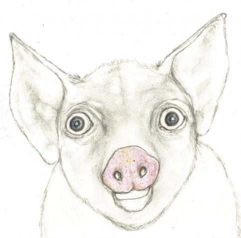 Pencil drawing pig making its face appealing