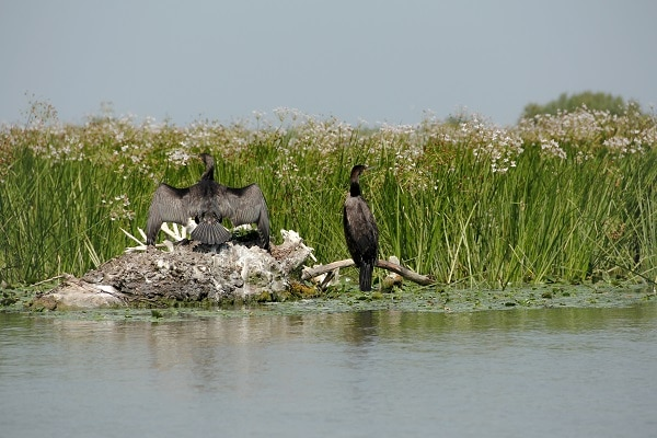 observer-cormoran-delta-du-danube