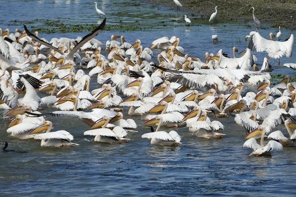 pelicans-blancs-oiseaux-delta-du-danube-héron-cendré-grande-aigrette