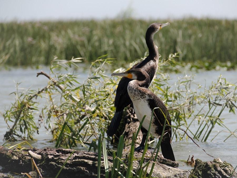 Observation Des Oiseaux Dans Le Delta Du Danube