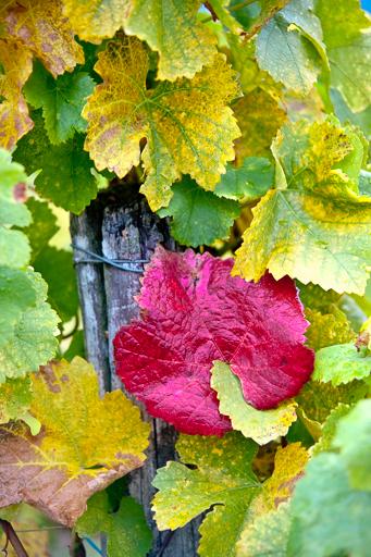 Mise en évidence de la couleur rouge d'une feuille de vigne