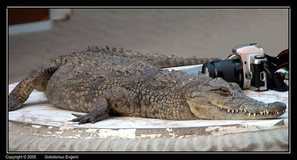 crocodile photo session
