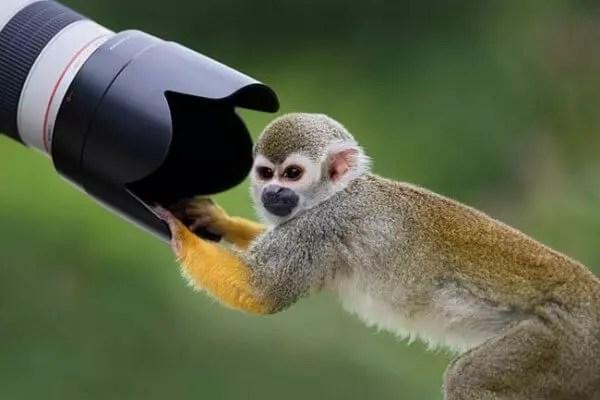 monkeys love to take pictures