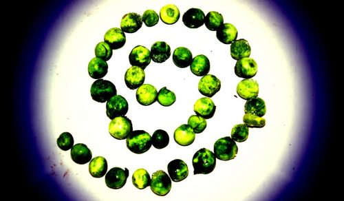 green peas arranged in a spiral