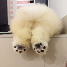 fluffy-dog-chowchow-puffie-the-chow-9-595a4fcd27a0b__700