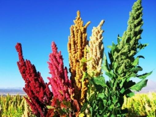 La quinua en su variedad y composición rica en nutrientes para el bienestar de la humanidad.