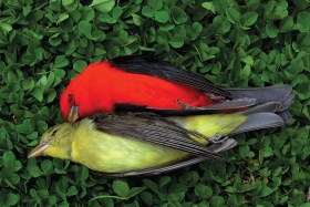 scarlet-tanagers-photo-mellissa-groo