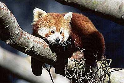 Firefox Panda Rojo