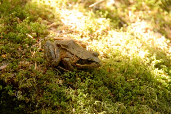 Red Legged Frog –Rana draytonii