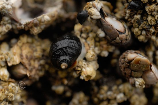 Black Snail & Barnacles