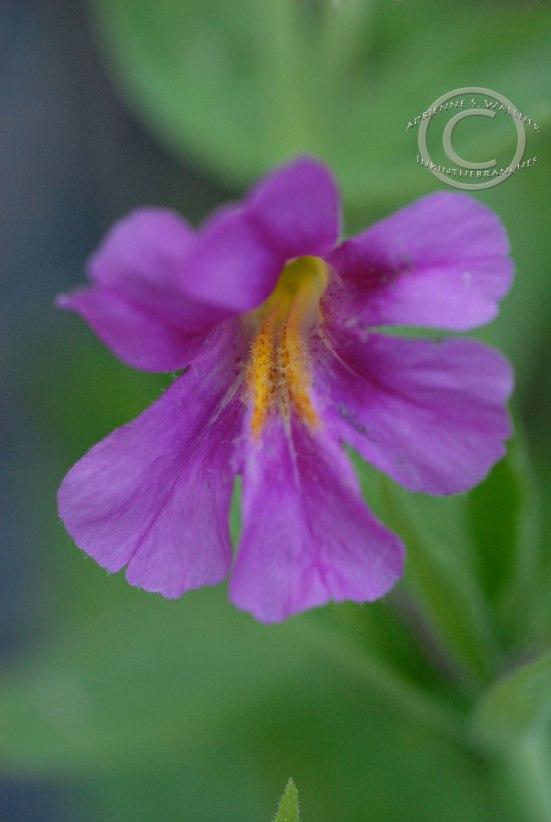 Lewis Monekyflower - Mimulus lewisii