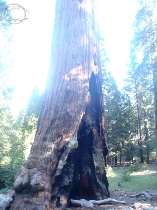 Fire damaged sequoia