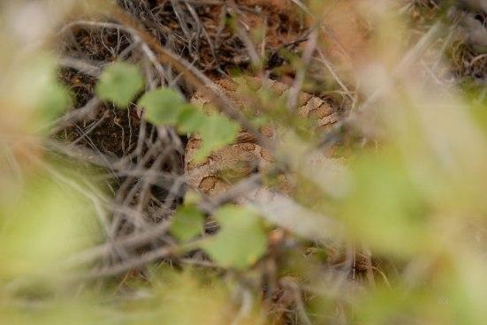 Midget-faded  rattle snake  (Crotalus oreganus concolor)