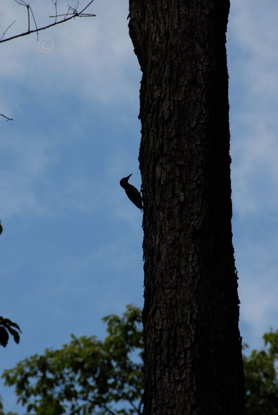 Flicker - Colaptes auratus cafer