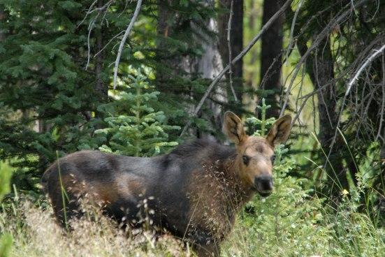 Moose No. 3