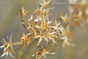 Dry Rocky Mountain Beeplants?