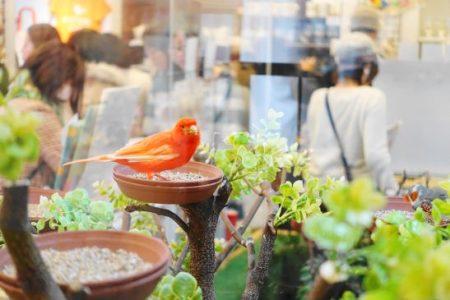 鳥カフェ「ことりカフェ巣鴨」に新加入のカナリア