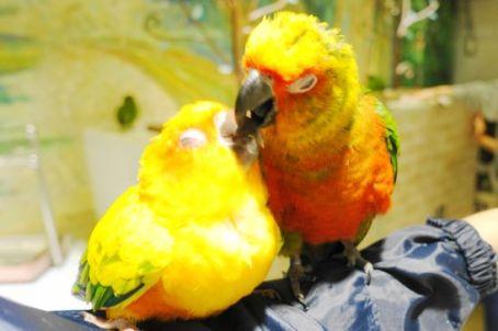 鳥のいるカフェのコガネメキシコインコ