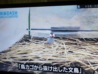 鉄腕ダッシュの「新宿DASH」に登場した、迷子の桜文鳥