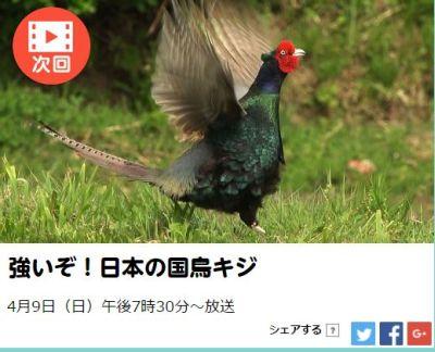 日本の国鳥のキジ