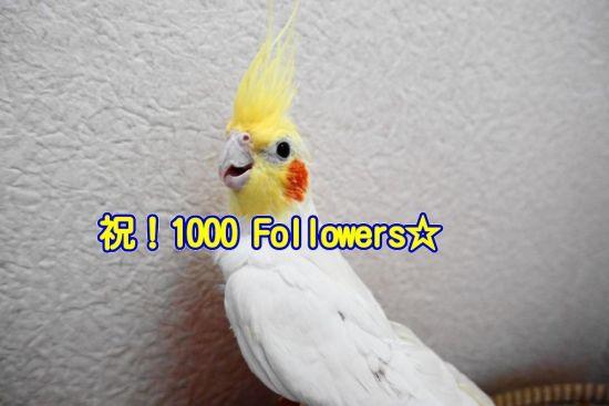 インコ生活のインスタグラムのフォロワー数1000人突破!