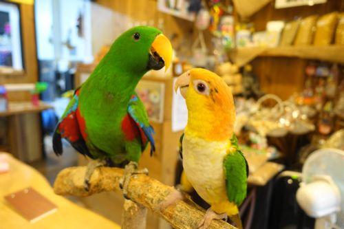 鳥カフェ「鳥茶かふぇTORIKOYA」のオオハナインコの男の子とシロハラインコ