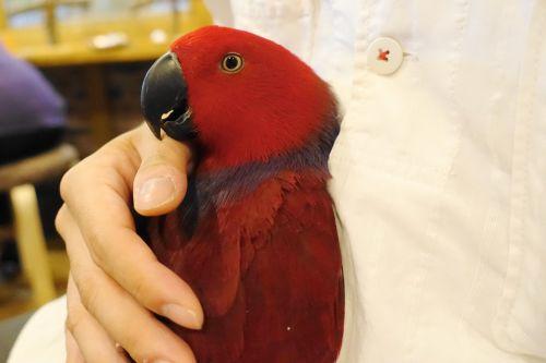 鳥カフェ「鳥茶かふぇTORIKOYA」のオオハナインコの女の子のひめちゃんを抱っこ