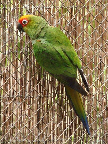 ゴシキメキシコインコのカラフルな羽の配色