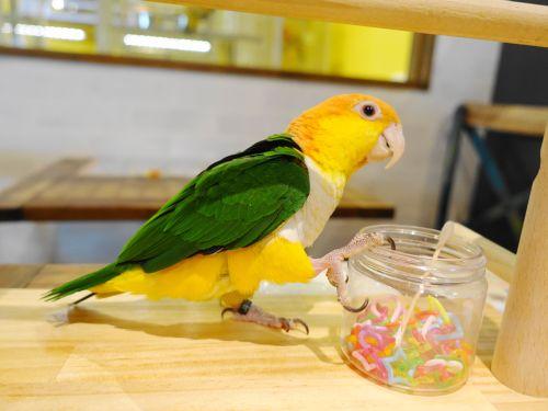 おもちゃ入れで遊ぶ鳥のいるカフェのシロハラインコ