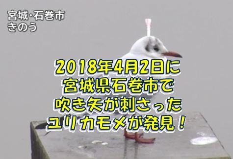 宮城県石巻市の北上運河で発見された矢が刺さったユリカモメ